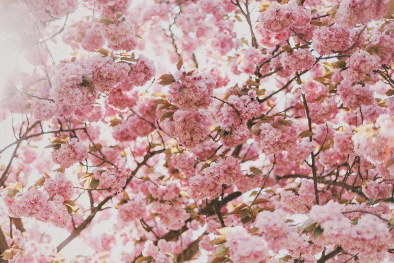Hanami - święto kwitnących wiśni